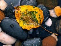 Das gelbe bodhi lässt das Fallen auf dem Flusssteinzen, ruhig, Lizenzfreies Stockbild