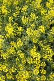 Das gelbe Feld der Senfblüten Stockfotografie