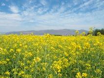 Das gelbe Feld der Senfblüten Lizenzfreie Stockbilder