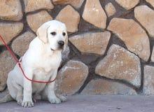 Das gelbe Labrador im Park Lizenzfreie Stockfotografie