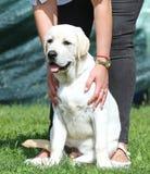 Das gelbe Labrador im Parkporträt Stockbild