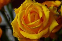 Das Gelbe stieg Blumenstrauß Makro Lizenzfreie Stockfotografie