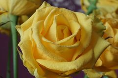 Das Gelbe stieg Blumenstrauß Makro Stockfotos