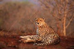 Das Gepard Acinonyx jubatus, das auf einer roten Erde liegt Stockbild