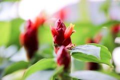 Das Gerecht werden sehen, dass die Blume des roten Ingwers sehr schön ist Lizenzfreie Stockfotografie