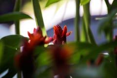 Das Gerecht werden sehen, dass die Blume des roten Ingwers sehr schön ist Stockbild