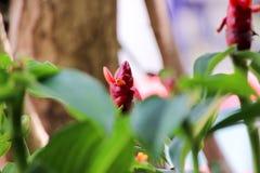 Das Gerecht werden sehen, dass die Blume des roten Ingwers sehr schön ist Stockfoto