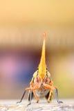 Das Gesicht der Laterne Fliege Stockfotos