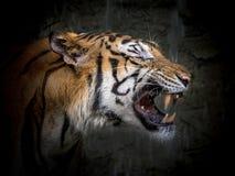 Das Gesicht des asiatischen Tigers Lizenzfreie Stockfotografie
