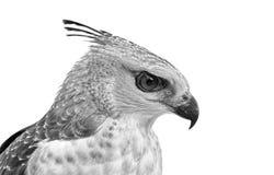 das Gesicht des Hühnerhabichts mit Haube Lizenzfreie Stockfotografie