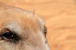 Das Gesicht des Hundes mit Akupunkturnadeln lizenzfreies stockfoto