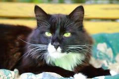 Das Gesicht einer schwarzen Katze mit Weiß beschmutzt Nahaufnahme Stockfoto