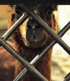Das Gesicht eines Alpakalamas n stockfoto
