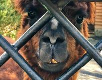 Das Gesicht eines Alpakalamas n stockfotografie