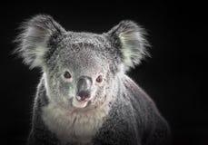 Das Gesicht eines Koala lizenzfreie stockbilder