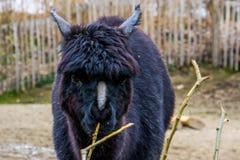 Das Gesicht eines schwarzen Alpakas in der Nahaufnahme, Alpaka mit dem bloßen Nasensyndrom, Tier mit der Alopezie, die Kahlheit a stockbilder