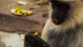 Das Gesicht naher hoher Rhesusfaktor Macaquess, Jaipur in Indien stockbild