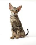 Das gestreifte orientalische Kätzchen Stockbild