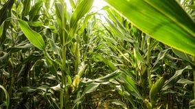 Das Getreidefeld Stockfoto
