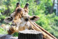 Das Giraffe ` s Gesicht Stockfoto