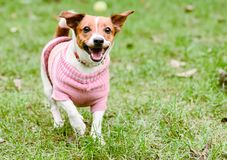 Das glückliche Hundetragen rosa wärmen die gestrickte Strickjacke, die am schönen Fallherbst-TAG spielt stockfoto