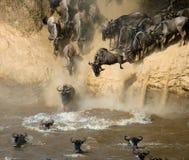 Das Gnu springend in Mara River Große Systemumstellung kenia tanzania Masai Mara National Park Lizenzfreies Stockbild
