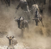 Das Gnu springend in Mara River Große Systemumstellung kenia tanzania Masai Mara National Park lizenzfreie stockfotos