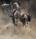 Das Gnu springend in Mara River Große Systemumstellung kenia tanzania Masai Mara National Park lizenzfreies stockfoto