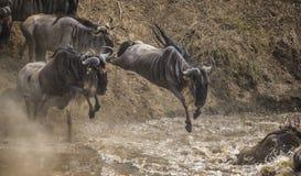 Das Gnu springend in Mara River Große Systemumstellung kenia tanzania Masai Mara National Park lizenzfreie stockfotografie
