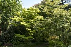 Das Gold färbte Ahorn Acer-japonicum ` Aureum-` Lizenzfreie Stockfotos