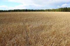 Das goldene Feld mit Weizen in Sibirien Lizenzfreies Stockbild