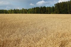 Das goldene Weizenfeld Stockfotos