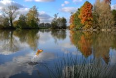 Das Goldfishspringen stockfotos