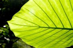Das grüne Blatt Lizenzfreie Stockfotografie