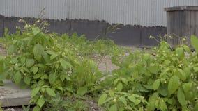 Das grüne Gras, das in den Wind beeinflußt stock video