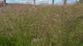 Das grüne Gras, das in den Wind beeinflußt stock video footage