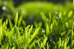 Das grüne Laub Stockfotografie