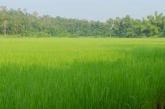 Das grüne Reisfeld nahe kleinem Berg lizenzfreies stockbild