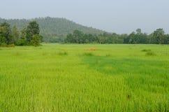 Das grüne Reisfeld nahe kleinem Berg lizenzfreies stockfoto