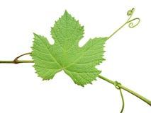 Das grüne Traubenblatt auf einem weißen Hintergrund lizenzfreies stockfoto