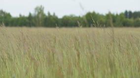 Das Gras beeinflußt in den Wind - slowmotion 60fps stock footage