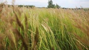 Das Gras in den Wieseneinflüssen unter der Aktion des Winds Sonniger heller Sommertag stock video footage