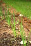 Das Gras oder die Sämlinge, die natürlich auftauchen Lizenzfreies Stockbild