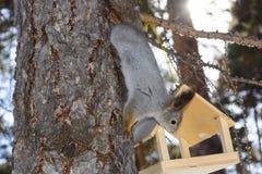 Das graue Eichhörnchen haftet einem Kiefernstamm im Winterpark Russland Süd-Ural an Stockbilder