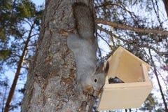 Das graue Eichhörnchen haftet einem Kiefernstamm im Winterpark Russland Süd-Ural an Lizenzfreie Stockfotos