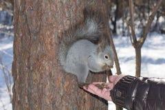 Das graue Eichhörnchen haftet einem Kiefernstamm im Winterpark an und isst Nüsse von einer Hand in Russland Süd-Ural Lizenzfreies Stockbild