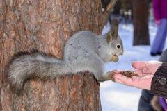 Das graue Eichhörnchen haftet einem Kiefernstamm im Winterpark an und isst Nüsse von einer Hand in Russland Süd-Ural Lizenzfreie Stockfotos