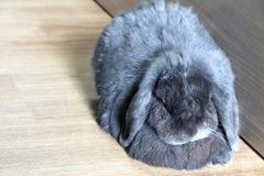 Das graue Kaninchen, das auf dem Holzfußboden nahe bei der hölzernen Wand schläft Stockfotos