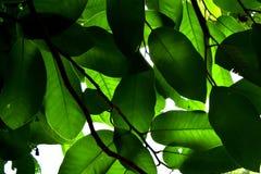Das grüne hintergrundbeleuchtete Blatt ist Naturzusammenfassungshintergrund Stockfotos