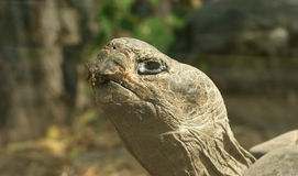 Das große Bild einer großen Hauptschildkröte Stockfotografie